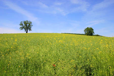 rapeseed field with trees and blue sky - scenic landscape in southern Germany