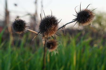 plant seed: Bristly seed head plant