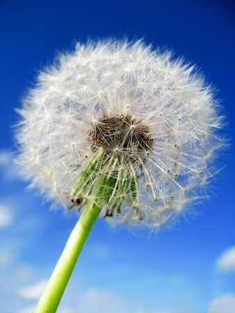 Close-up of a dandelion in front of a deep blue sky photo
