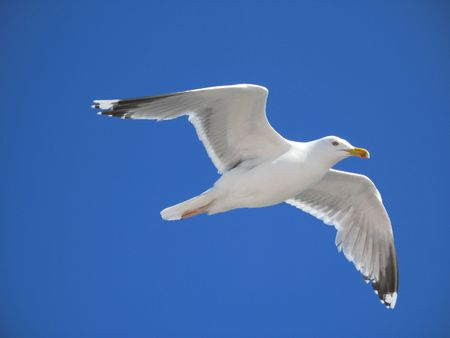 fascination: seagull flying with spread wings under a deep blue sky Stock Photo