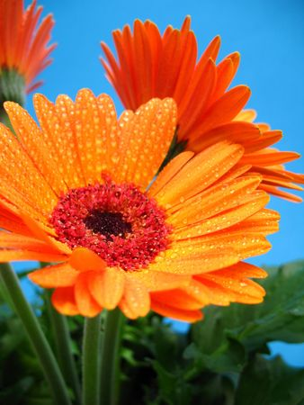 orange gerber flower with water drops on a blue background photo