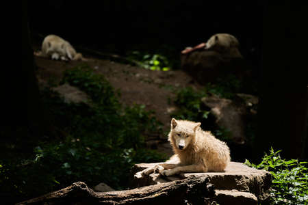 Wolf pack of big and white Hudson Bay Wolf, lives in the Artic and at the northwestern coast of Hudson Bay in Canada, North America. Canis lupus hudsonicus, lying in warm sunlight