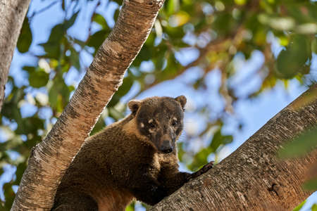 Coati, Nasus Nasus, climbing through a tree in the southern Pantanal of Brazil, a Coati looks like a little bear or almost like a racoon