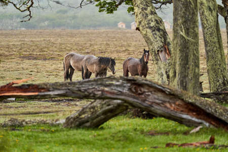 Equus, wild horses in tierra del fuego, Patagonia. Dark, tall and strong horses standing in the rain in a woodland with bushes and lush green gras, South America_2