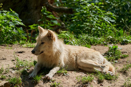 Big and white Hudson Bay Wolf, lives in the Artic and at the northwestern coast of Hudson Bay in Canada, North America. Canis lupus hudsonicus, lying in warm sunlight