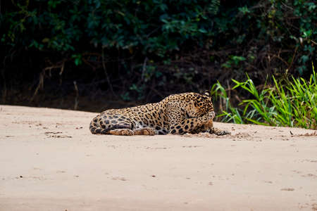 Jaguar, Panthera onca, is a large felid species and the only extant member of the genus Panthera native to the Americas, Jaguar lying on a sand bank on Cuiaba river in the Pantanal, Brazil