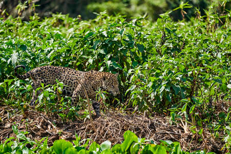 Jaguar, Panthera onca, is a large felid species and the only extant member of the genus Panthera native to the Americas, Jaguar stalking through vegetation on Cuiaba river in the Pantanal, Brazil