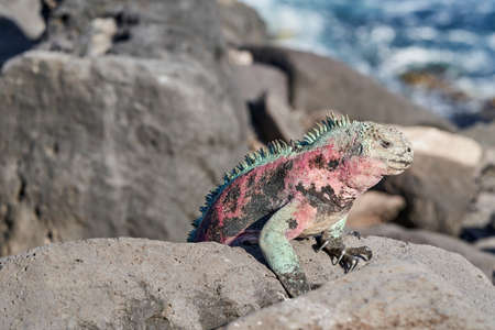 marine iguana, Amblyrhynchus cristatus, also sea, saltwater, or Galápagos marine iguana sitting on the lava rocks of the galapagos islands soaking up the sun Stock fotó