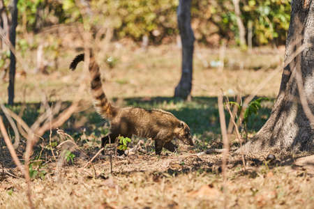 Coati, Nasus Nasus, foraging on the ground in the southern Pantanal, a swampy area of Brazil. A Coati looks like a little bear or almost like a racoon