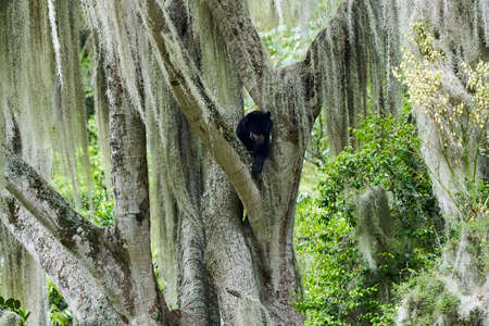 The spectacled bear, Tremarctos ornatus, also Andean or mountain bear, is the last remaining short faced bear and classified as vulnerable. mirador del oso andino in the andes mountains of Ecuador