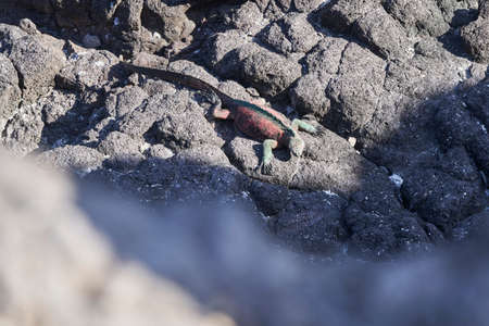 marine iguana, Amblyrhynchus cristatus, also sea, saltwater, or Galápagos marine iguana sitting on the lava rocks of the galapagos islands soaking up the sun