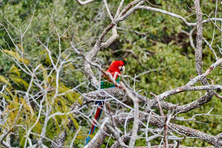 Beautiful scarlet macaw, Ara macao, a large red, yellow, and blue parrot in Central and South American, at Buraco das Aras in Brazil, South America