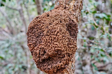 Details of a nest of wild bees on an exotic topical tree at the buraco das aras, Brazil, South America, with a very rugged and textured surface pattern of the bark Stock fotó
