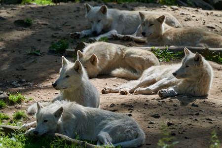 Wolf pack of big and white Hudson Bay Wolf, lives in the Arctic and at the northwestern coast of Hudson Bay in Canada, North America. Canis lupus hudsonicus, lying in warm sunlight