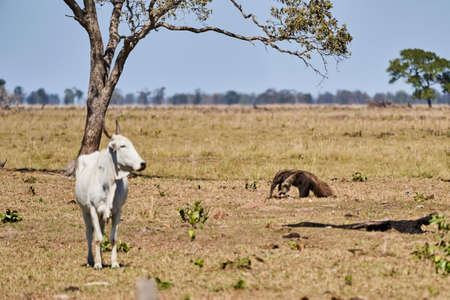giant anteater walking over a meadow of a farm in the southern Pantanal. Myrmecophaga tridactyla, also ant bear, is an insectivorous mammal native to Central and South America. Stock Photo