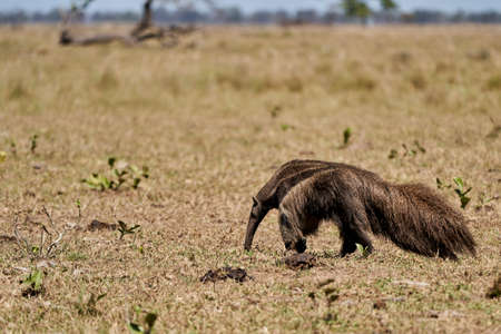 giant anteater walking over a meadow of a farm in the southern Pantanal. Myrmecophaga tridactyla, also ant bear, is an insectivorous mammal native to Central and South America.