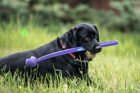 Black labrador dog in green grass with chuck it and ball in mouth