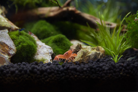 cpo: Mexican orange freshwater crayfish in the aquarium, selective focus and space for text