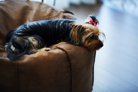 mans best friend: Beautiful puppy lying on a fluffy rug. Little dog looks clever and sad eyes. Mans best friend. Yorkshire Terrier.