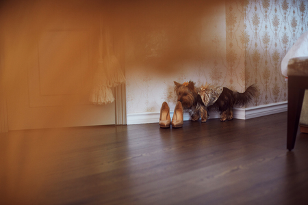 color photography: Yorkshire dog wearing wedding dress. Color photography