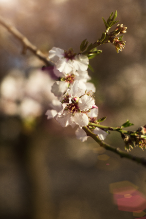 almond blossom, almond branch close-up