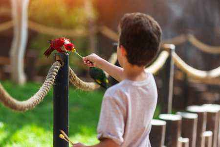 child feeds an apple on a stick of a multi-colored parrot Rainbow named Lorikeet sitting on a tree