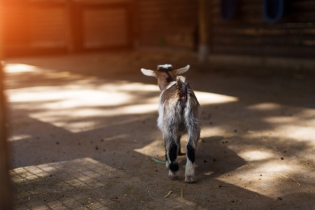 little goat view from the butts on the farm