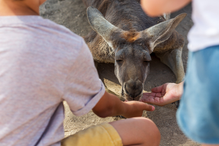 Feeding a Young red kangaroo in the park, Israel