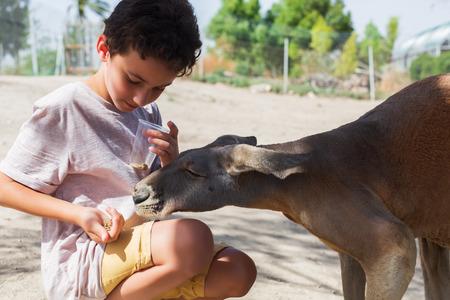 Kid feeding kangaroo at the zoo. Feeding a Young red kangaroo in the park, Israel