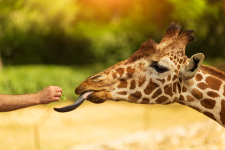 One man feeds giraffe from his hand. Giraffe sticked out tongue