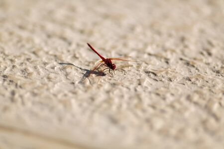Red dragonfly eating on a brown floor