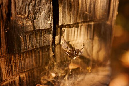 lizard trapped in a spider web, the body of a dried lizard entangled in a web