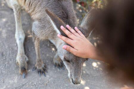 Close-up of a boy stroking an Australian kangaroo Stock fotó