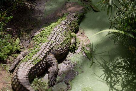 crocodile waits patiently for prey in Queensland, Australia Stock fotó