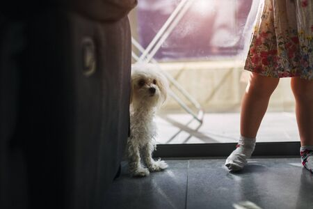 legs of a little girl with a dog Maltese At home near the window
