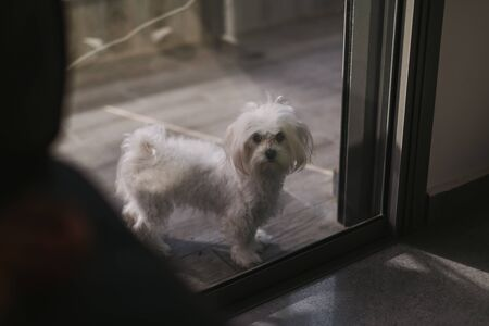 Cute white dog Maltese home, waiting for his owner to come home