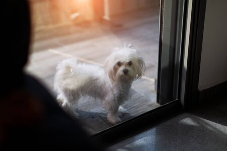Cute white dog of Maltese breed closed on the balcony, waiting for its owner to come home. Reklamní fotografie