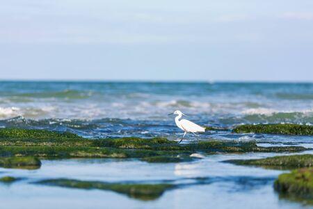 Little egret (Egretta garzetta), a beautiful water bird catching fish at the sea Reklamní fotografie