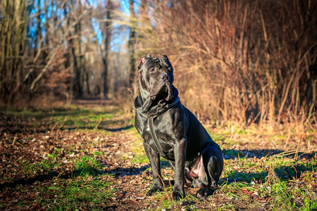 Beautiful black dog sit. portrait Cane Corso. outdoor. Autumn sunny day in the park