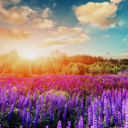fantastic sunset. a perfect sky with clouds. over meadow with colorful lupin flowers. picturesque scene. breathtaking, wonderful scenery. original creative