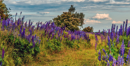 fantastic landscape. ideal sky with clouds over the meadow with purple lupine flowers on a sunny day. picturesque scene. breathtaking scenery. wonderful landscape. original creative images