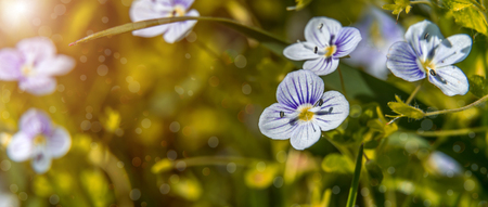 Blooming wildflowers in a meadow. close up. Lilac blooming Cardamine pratensis against the blurred nature background of a rural field. soft selective fokus.