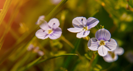 Blooming wildflowers in a meadow. close up. Lilac blooming Cardamine pratensis against the blurred nature background of a rural field.