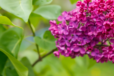 Branch of purple lilac flowers with green leaves. small depth of field