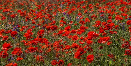 poppy flowers on the green background on field in sunny day. nature background