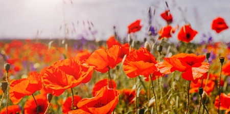 colorful flowers on the field, glowing in sunlight. nature background. real nature landscape. used as background. Foto de archivo