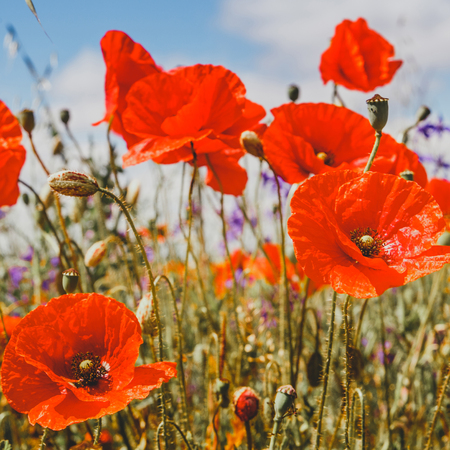 picturesque scene. close up fresh, red flowers poppy on the green field, in the sunlight. on the perfect blue sky background. majestic rural landscape. natural creative picture.