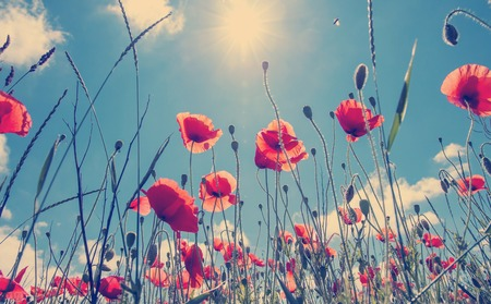 poppy flowers in the field close up glowing in sunlight. on the spring meadow. creative image. nature background. picturesque landscape. Stock Photo