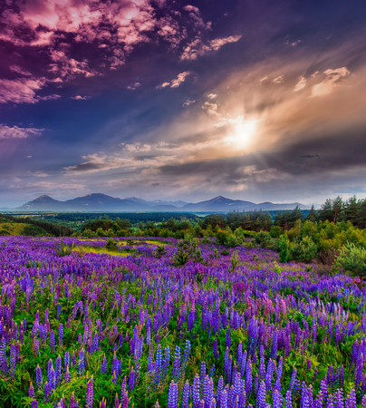 fantastic sunset. a colorful sky with clouds. over meadow with bluel lupin flowers. picturesque scene. breathtaking, wonderful scenery. original creative images. majestic landscape