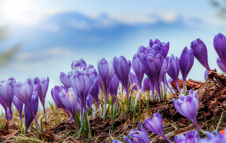 Wonderful Spring Scene. Purple Flowers under sunlight on the grass. Majestic Mountins on Background, Blurred. Creative collage. Awesome alpine highlands in sunny day. soft light effect